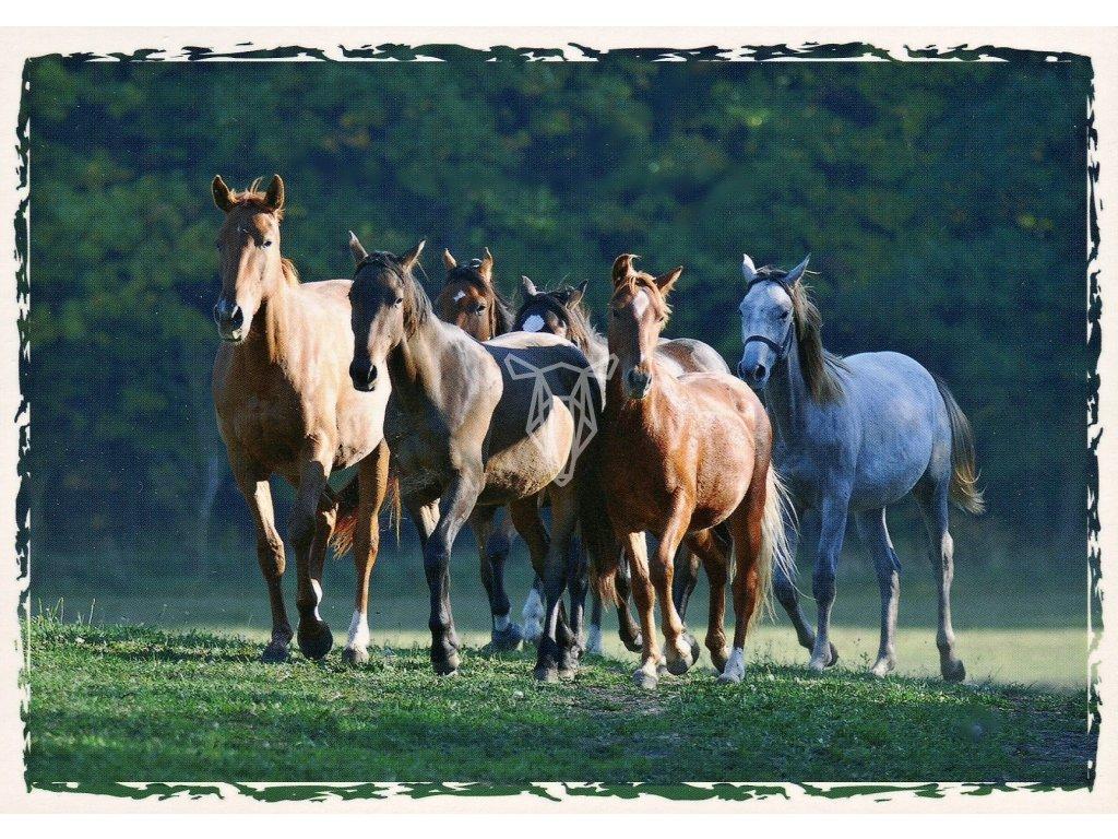 5063 2 pohlednice stado ceskych teplokrevniku a welsh pony