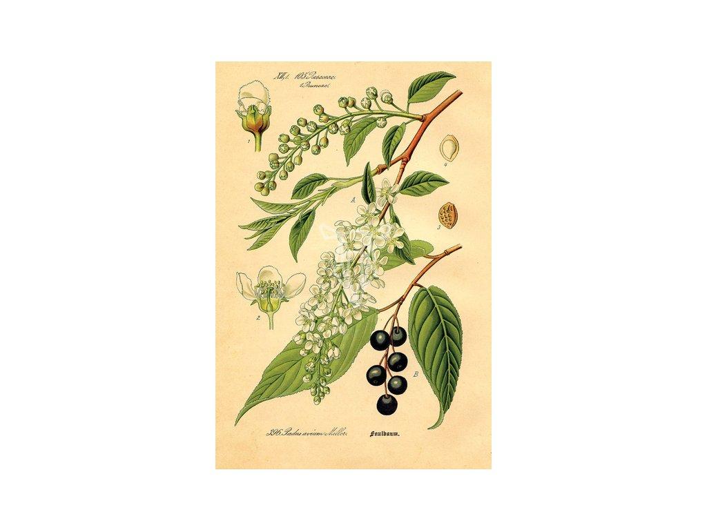 Rycina botaniczna czeremcha width400 3
