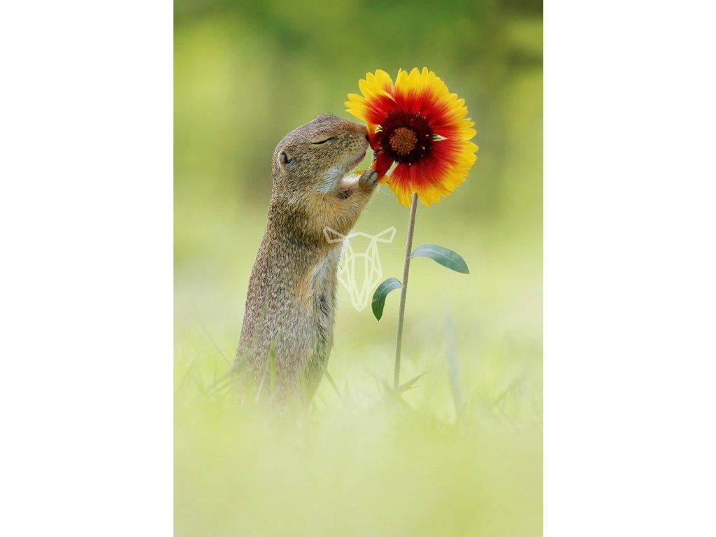 16655 pohlednice sysel a vune kvetiny
