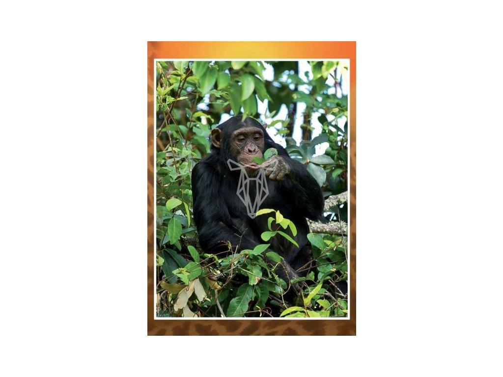 3149 3 pohlednice simpanz
