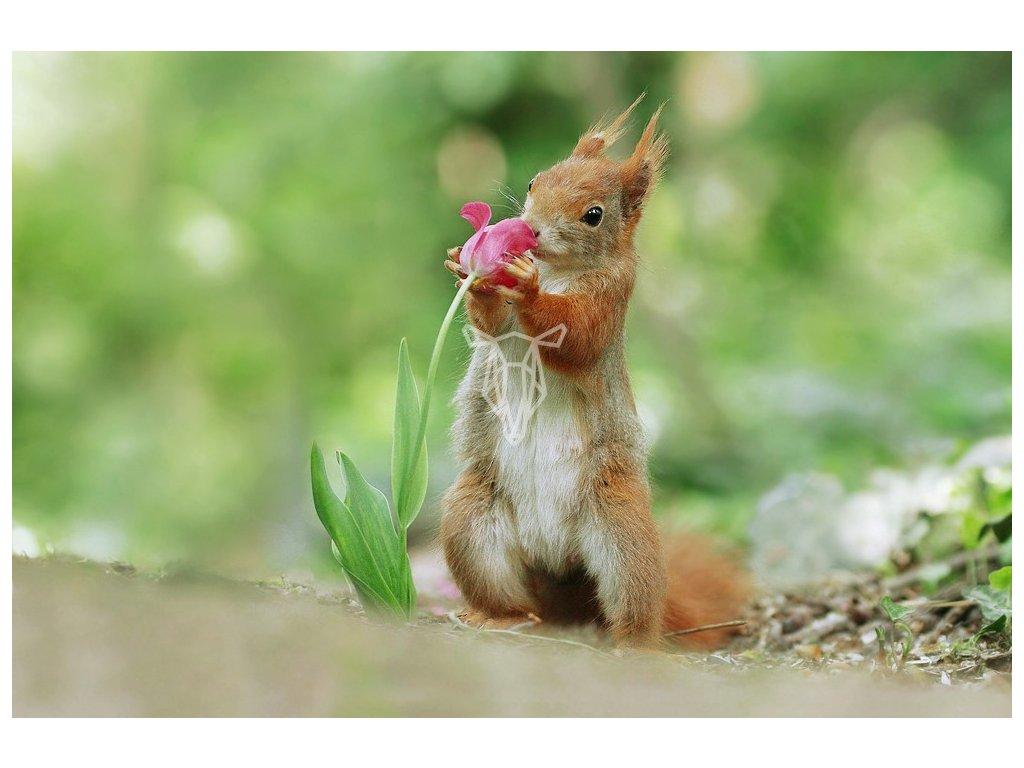 16664 pohlednice veverka a tulipan