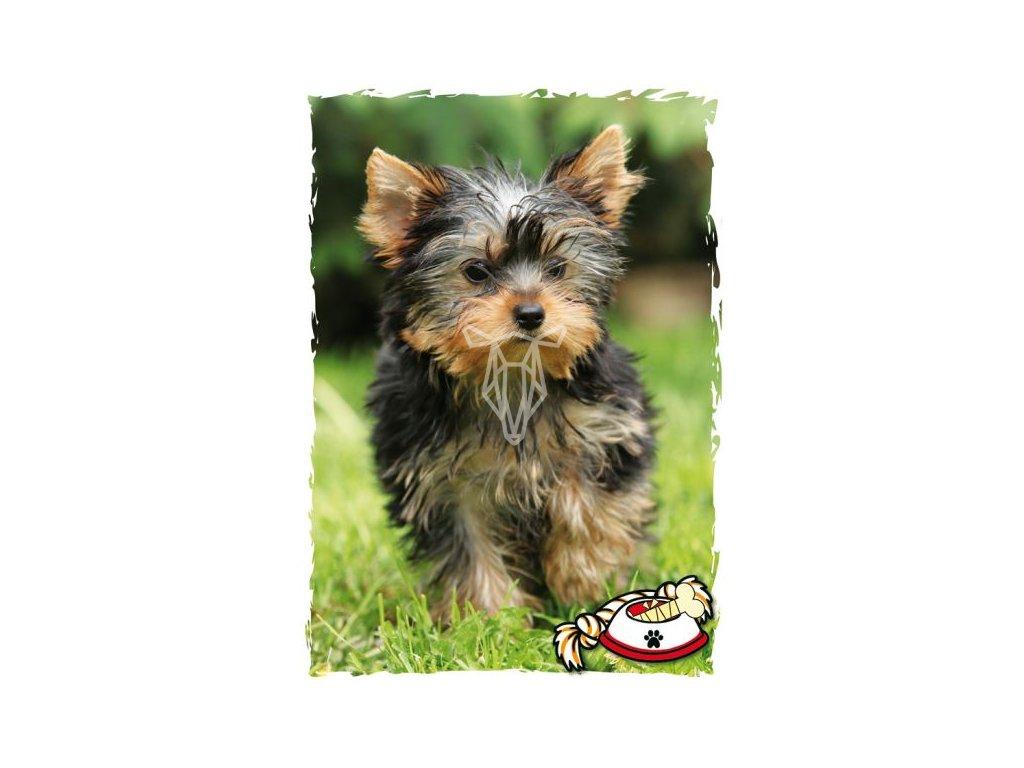 16511 pohlednice yorkshire terrier
