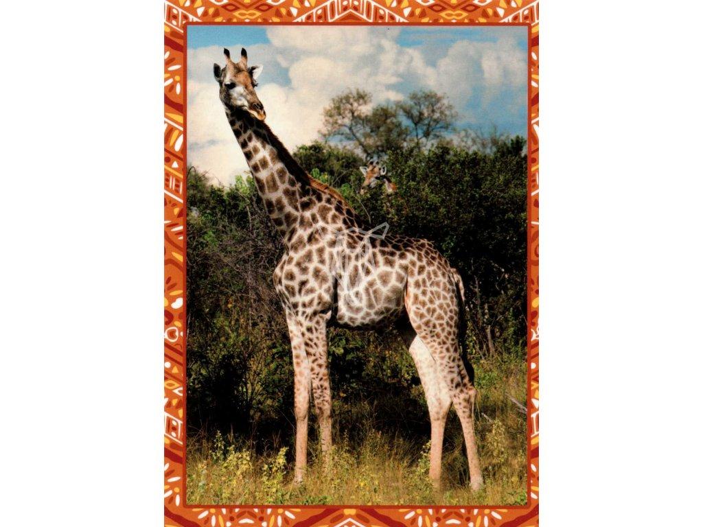 12188 2 pohlednice zirafa