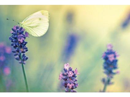 Motyl i lawenda