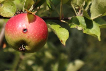 Hlístice NEMAPOM jako nejlepší ochrana proti obaleči jablečnému