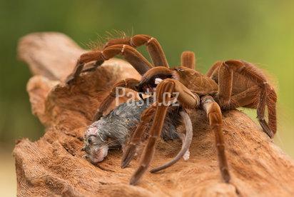 Největší pavouci na světě a v ČR