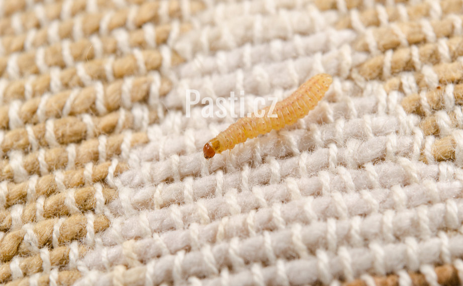 Larva mola šatního