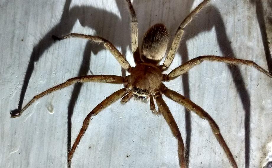 Pavouk%20maloo%C4%8Dka