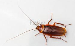 šváb americký