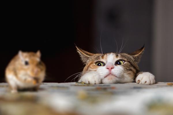 Kočka loví myš