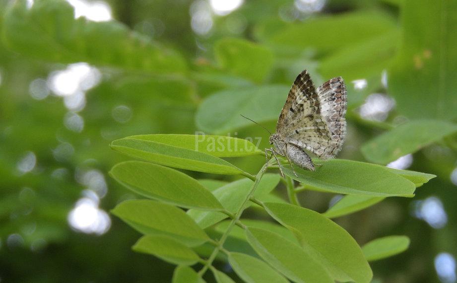 Motýl píďalka