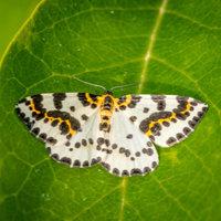 Motýl píďalky angreštové