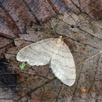 Motýl píďalky podzimní