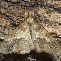 Motýl píďalky zhoubné