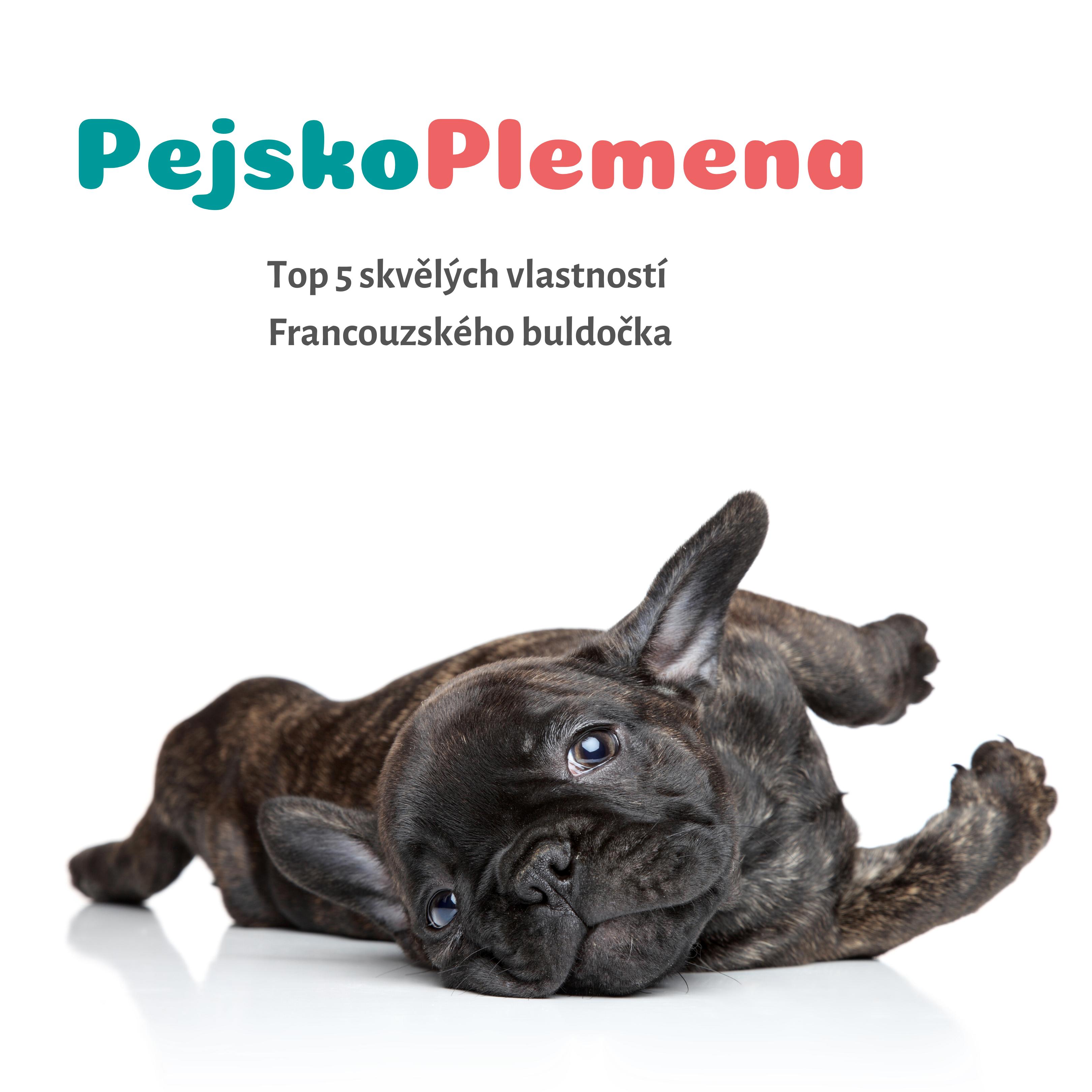 Top 5 skvělých vlastností FRANCOUZSKÉHO BULDOČKA