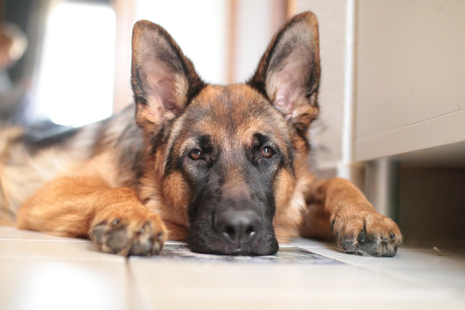 Dysplazie kyčelního kloubu může psa potrápit