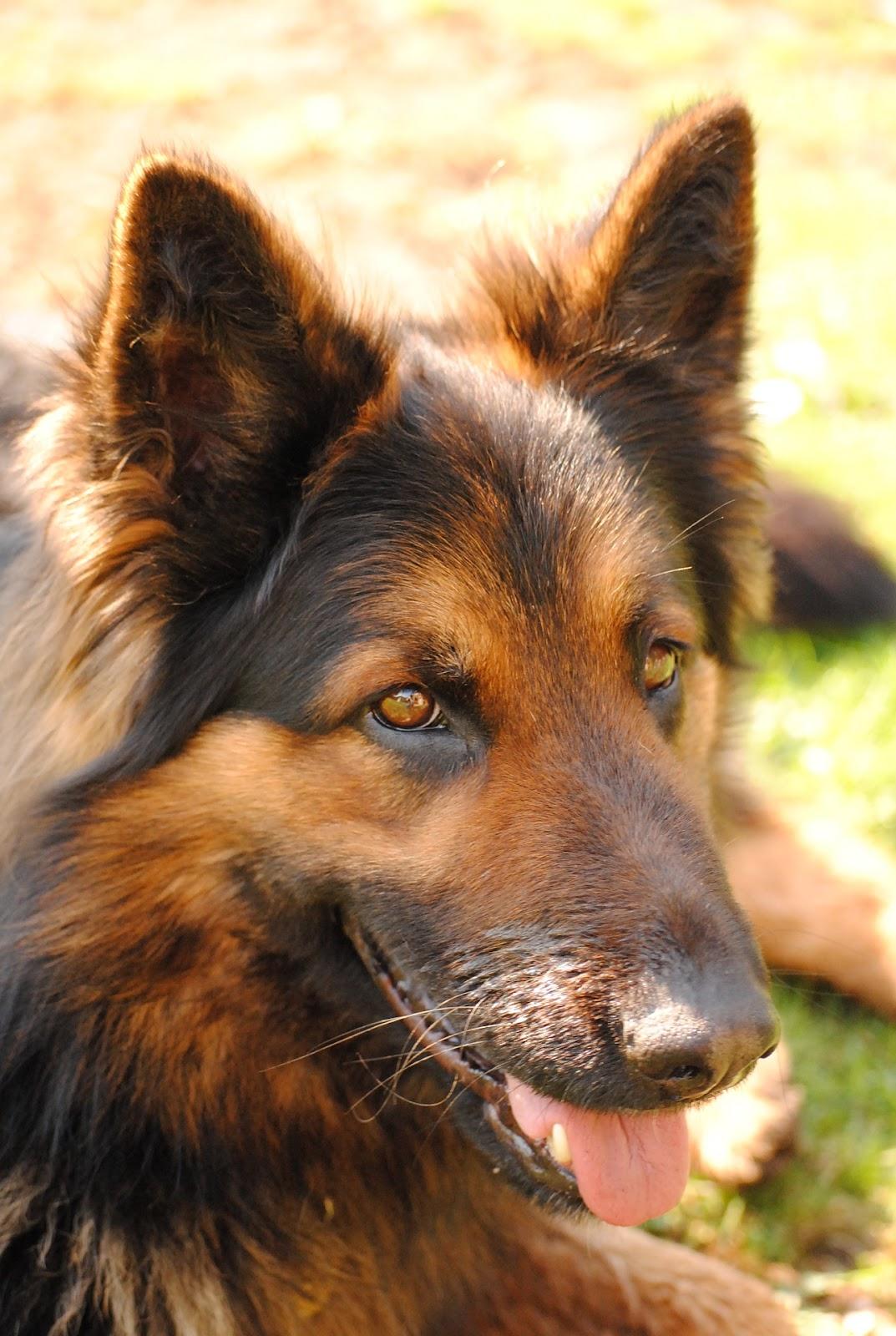 chodsky-pes
