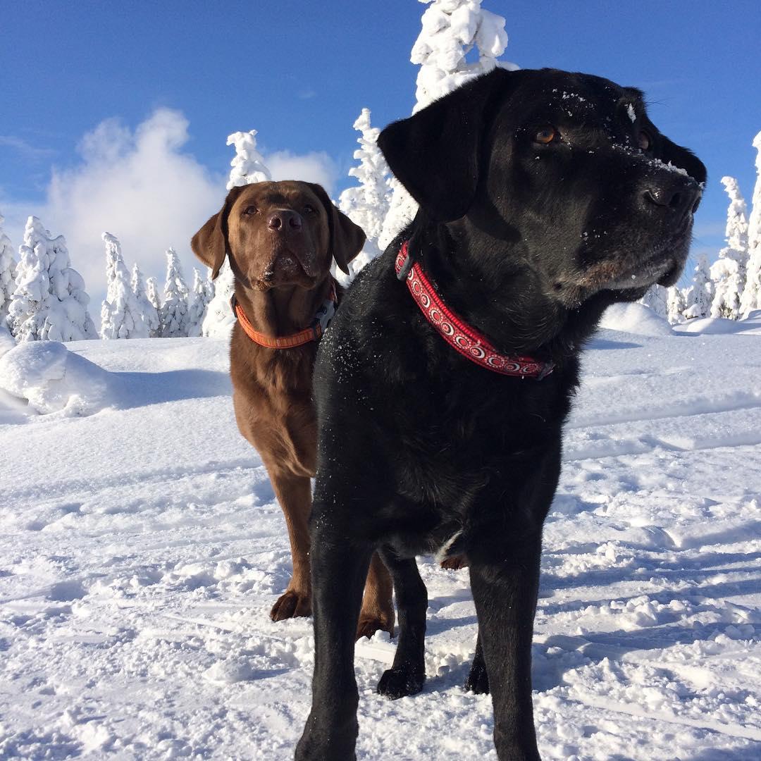 Psi na horách ve sněhu.