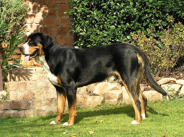 velky-svycarsky-salasnicky-pes-vzhled