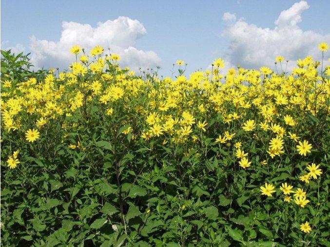 topinambur kvet 1