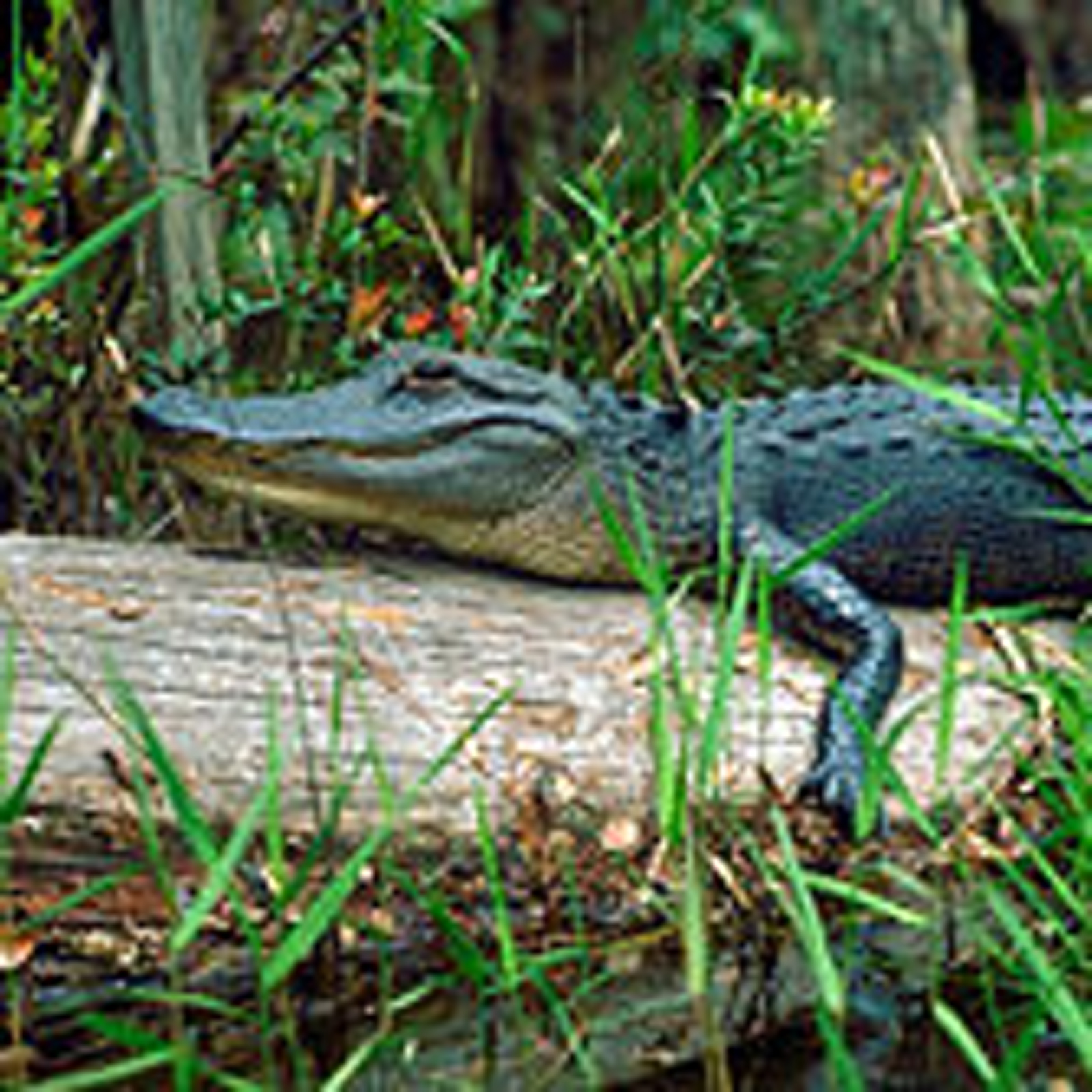 250px-Alligator_in_the_Okefenokee