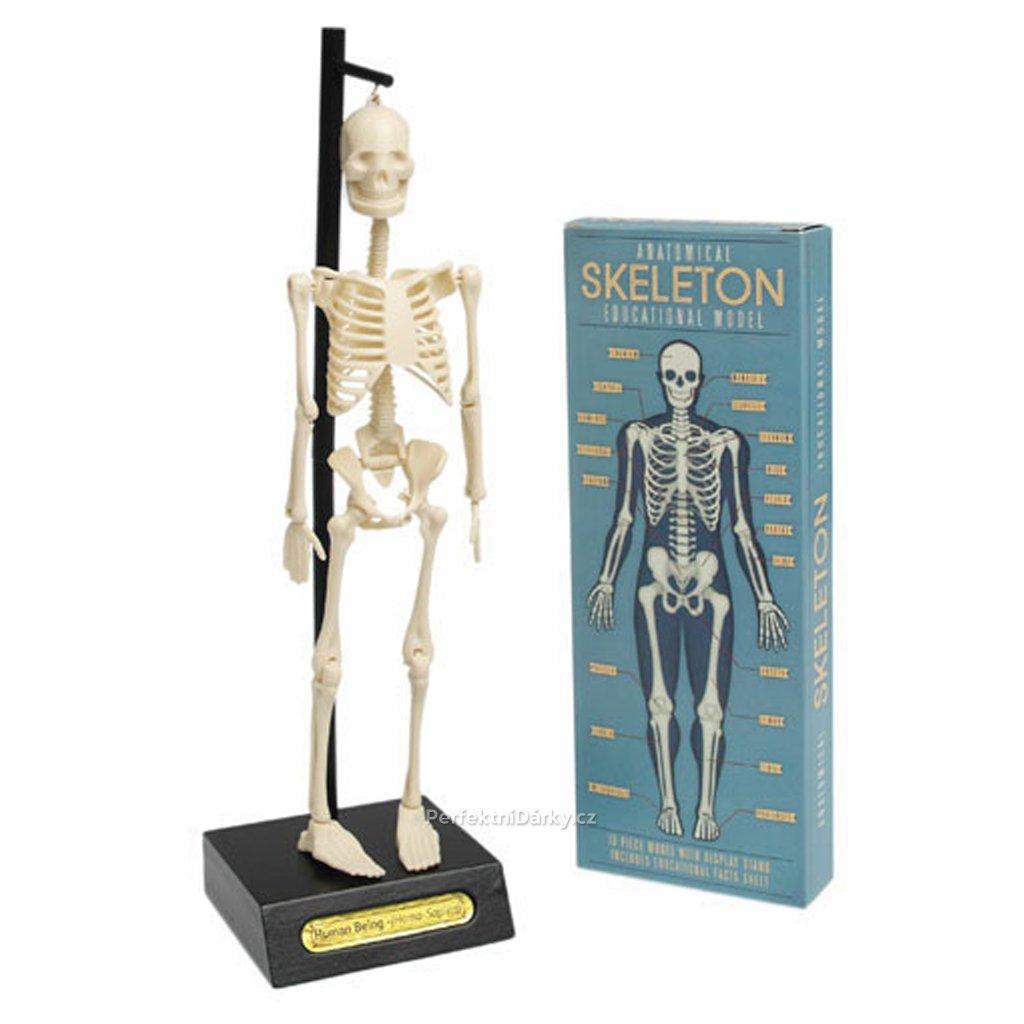 Anatomický model kostry