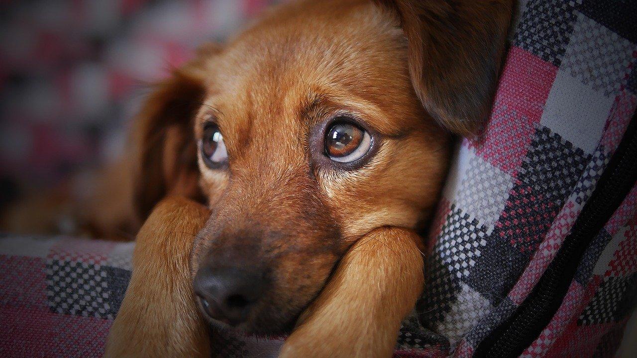 Víte, co mohou značit smutné psí oči? Možná vašeho psa sužuje nemoc