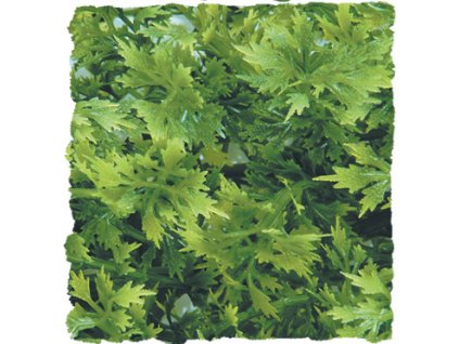 13533 australian maple prirodni kerova rostlina