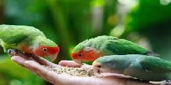 Ako skrotiť papagája