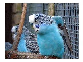 Papagájec vlnkovaný - andulka