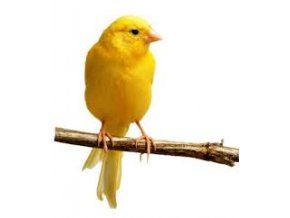 Kanárik domáci