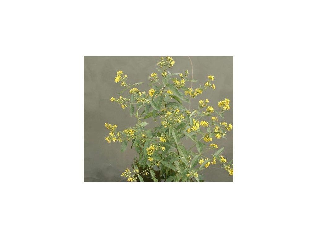 Vrbina Obecná - Lysimachia vulgaris