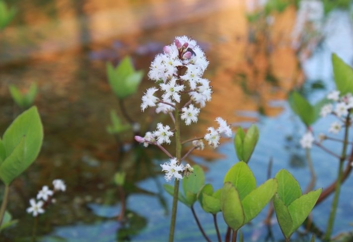 Vachta trojlistá - (Menyanthes trifoliata)