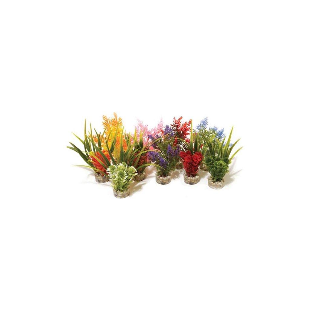 Rostlina Nano Fiesta Rosewood 14cm