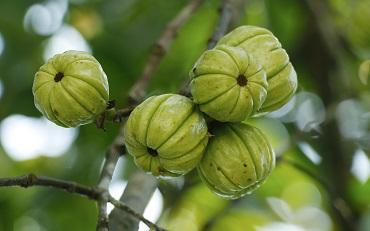 Garcinia Cambogia – ovoce na hubnutí