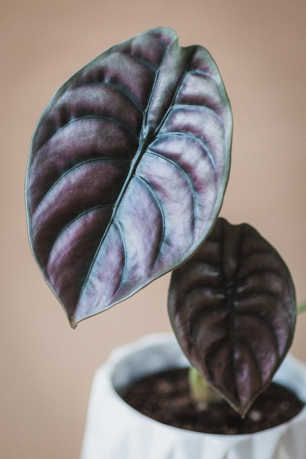 "Alocasia cuprea ""Red secret"""