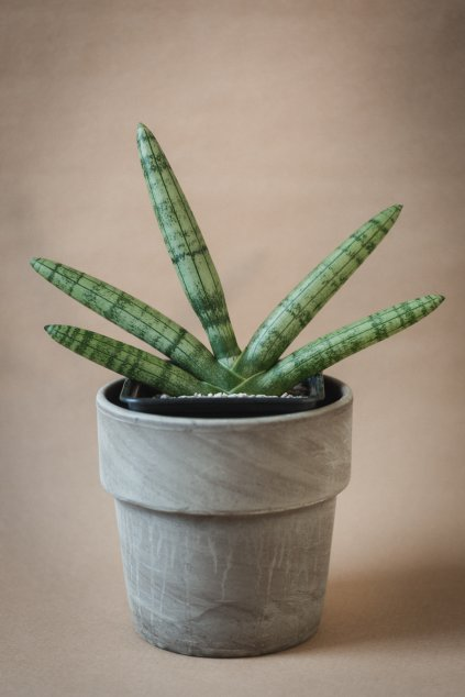 "Sansevieria cylindrica var. patula ""Boncel"""