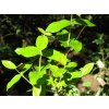 Pock Ironwood listy