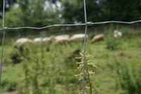 Uzlové pletivo je vhodné pro ovce