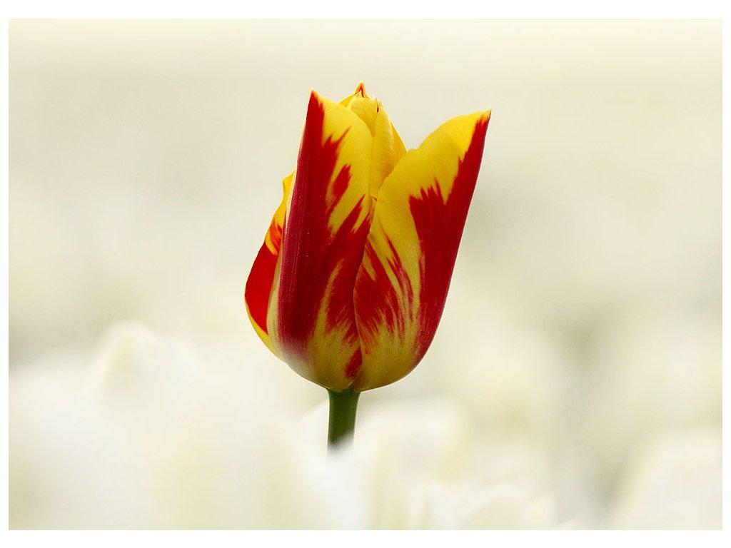 Pohlednice Tulipán