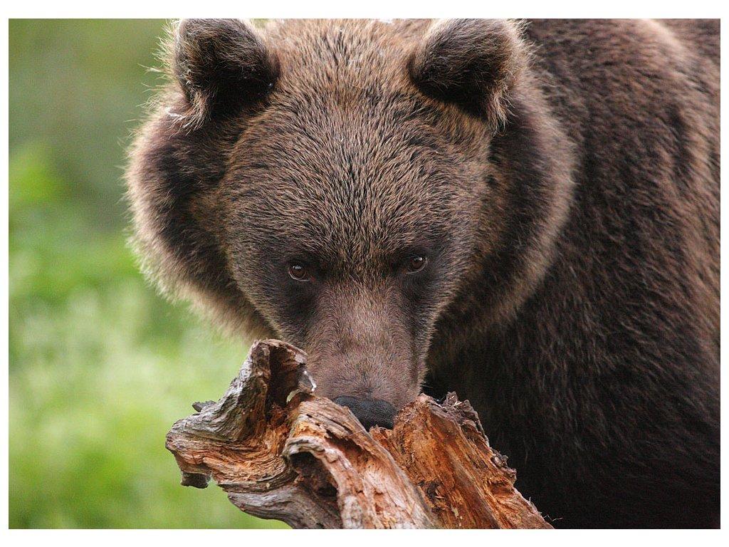 Pohlednice Medvěd