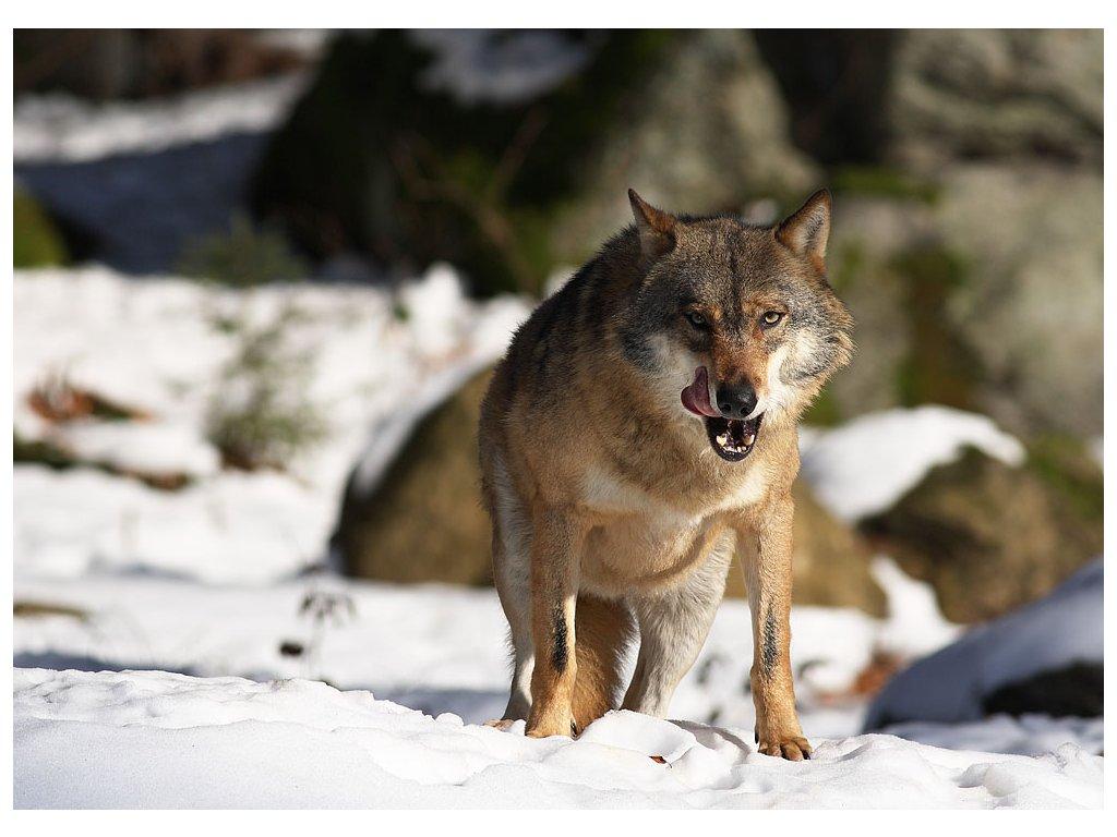 Pohlednice Vlk