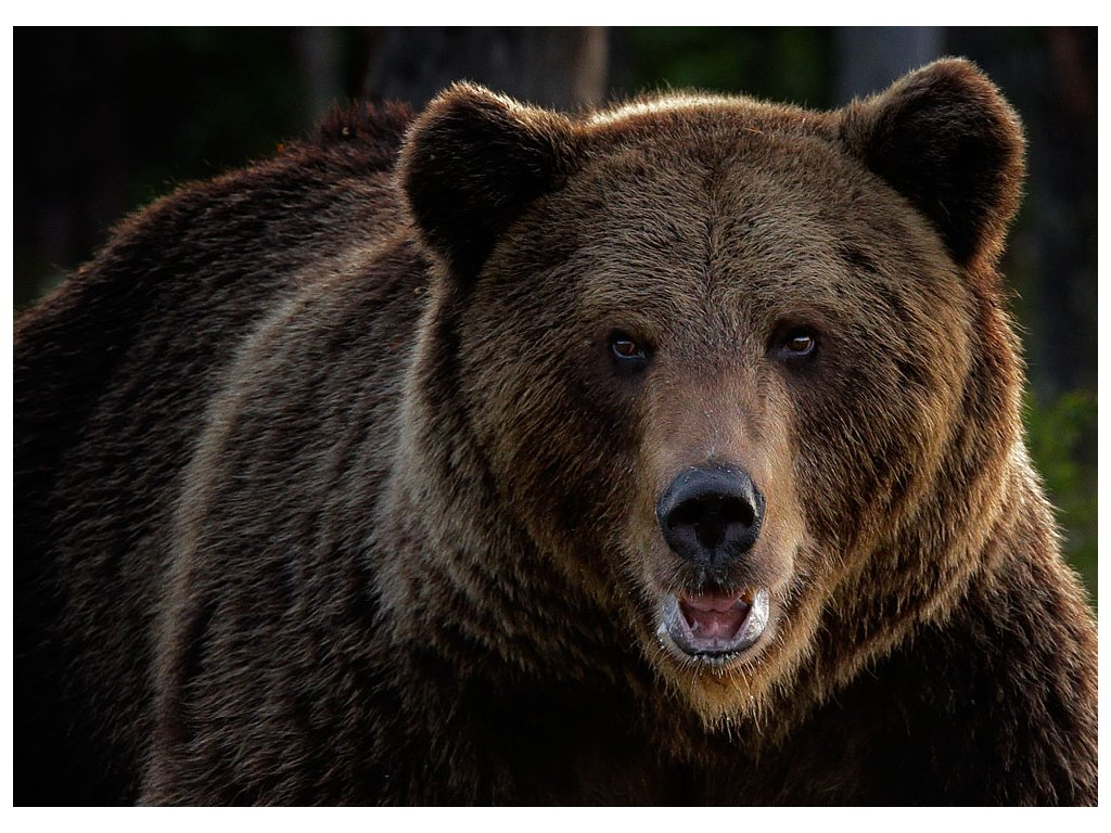 Pohlednice Medvěd hnědý
