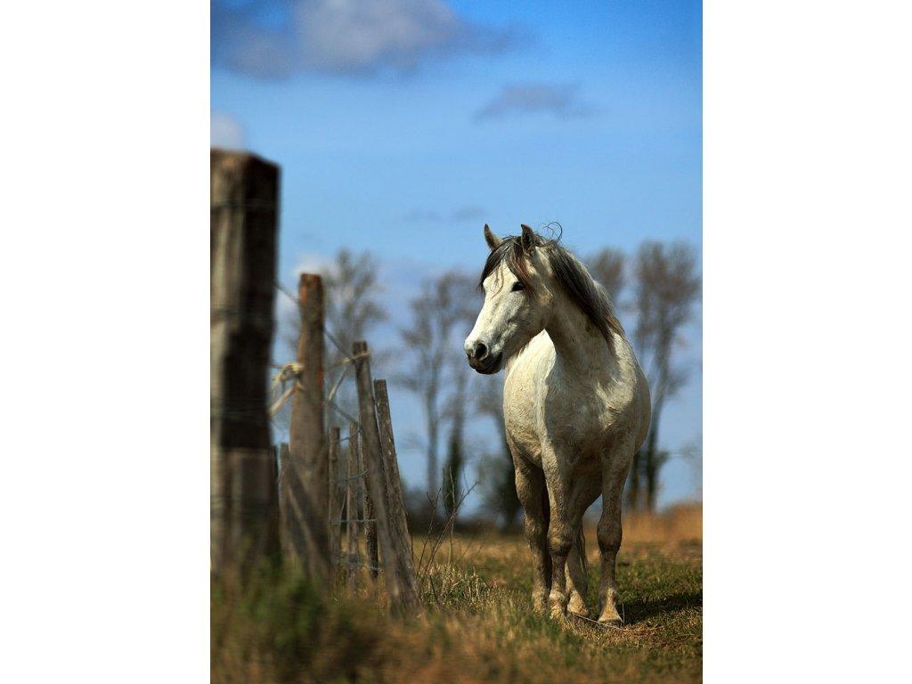 Pohlednice Camargský kůň