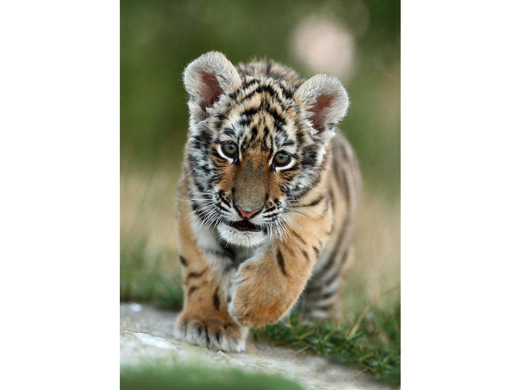 Pohlednice Tygr ussurijský