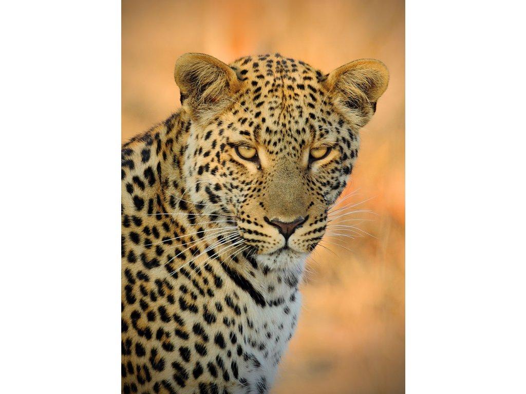 Pohlednice Levhart jihoafrický