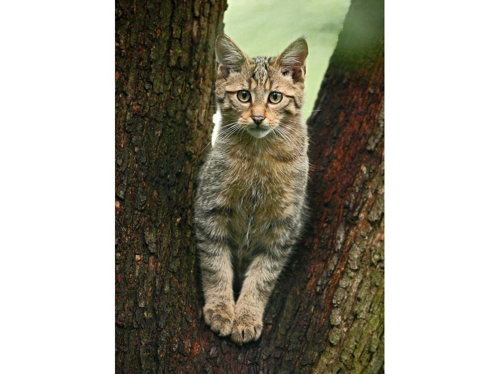 Pohlednice Kočka divoká