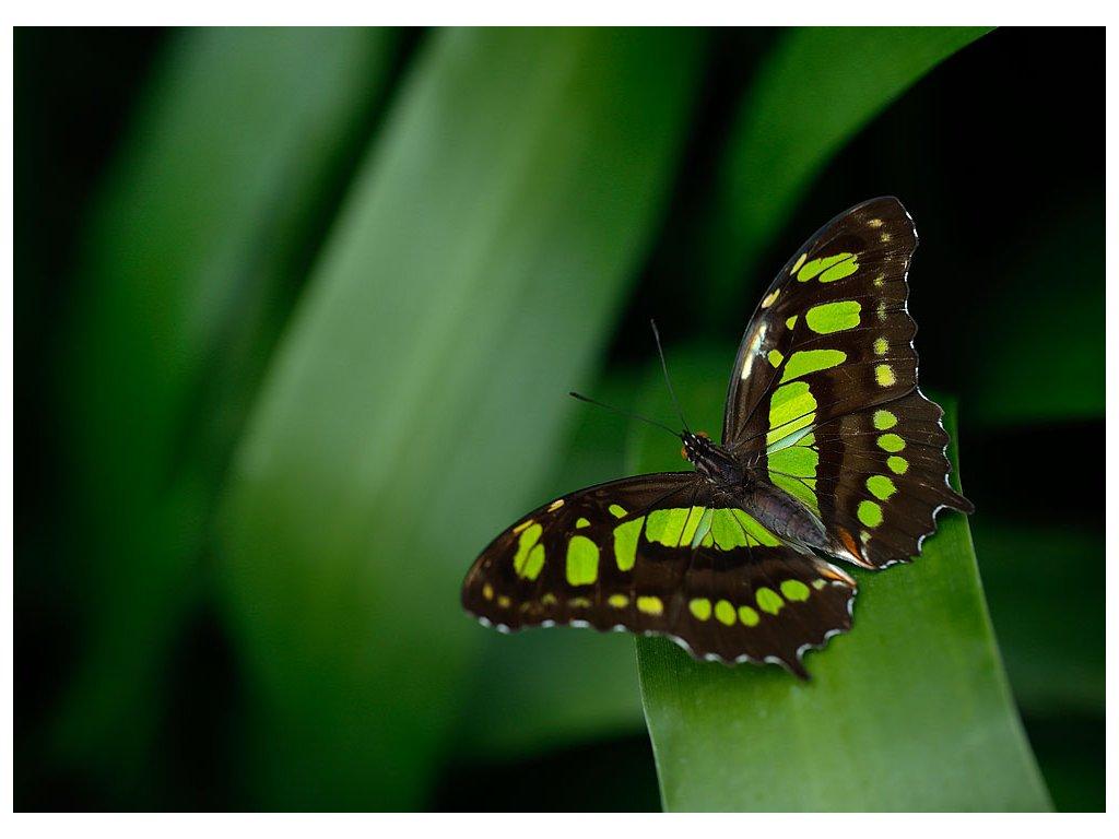 Pohlednice Motýl Babočka