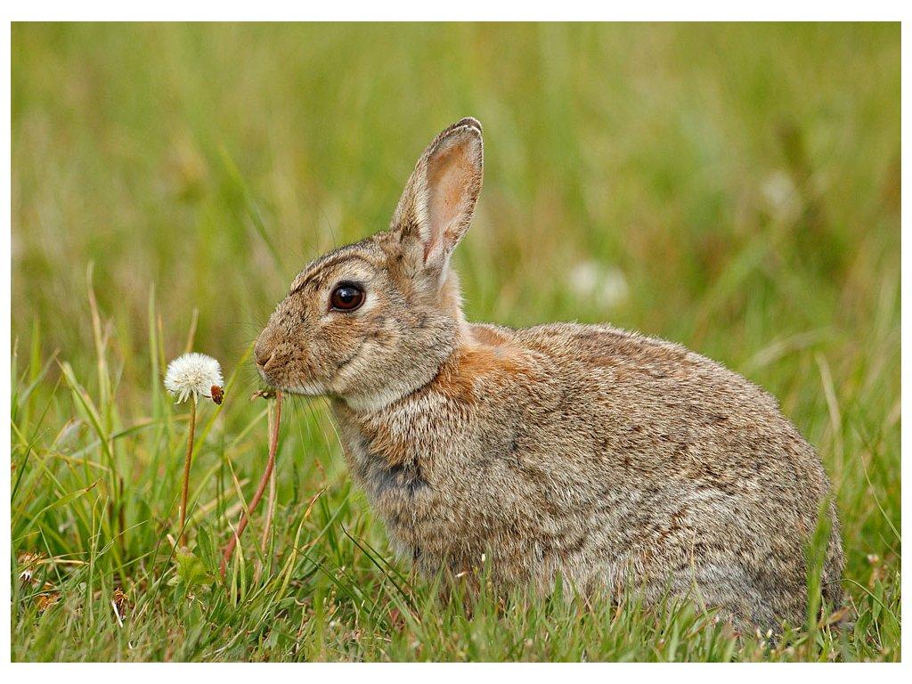 Pohlednice Zajíc polní