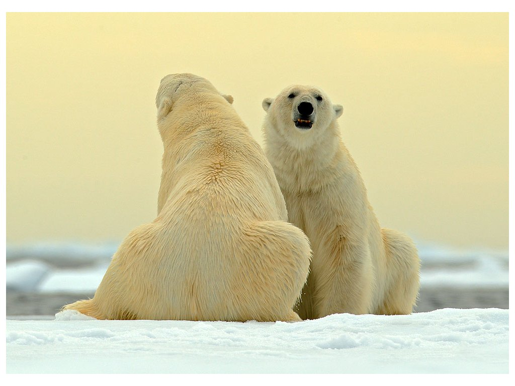 Pohlednice Medvědi lední